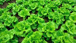 lettuce from The Organic Syndicate  Ras Al Khaimah,