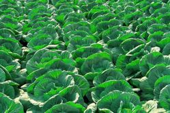 cabbage from The Organic Syndicate  Ras Al Khaimah,
