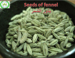 seeds of fennel  production  month  may (2019)