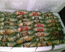Live Mud Crabs from  ,